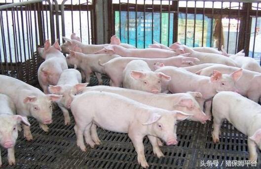 猪业发展行情预测面面观84.png
