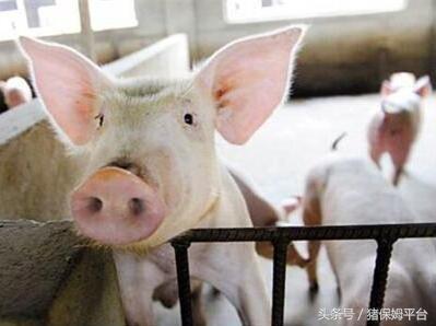 猪业发展行情预测面面观395.png