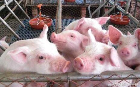 猪业发展行情预测面面观985.png