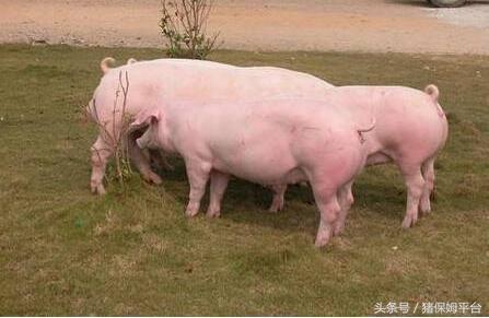 猪业发展行情预测面面观1318.png
