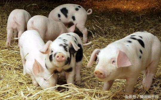 猪业发展行情预测面面观1531.png