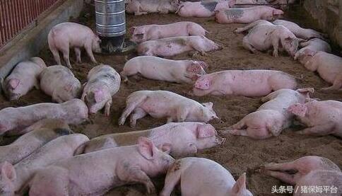 猪业发展行情预测面面观2118.png