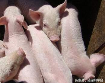 猪业发展行情预测面面观2592.png